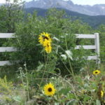 Sunflowers and Sneffels
